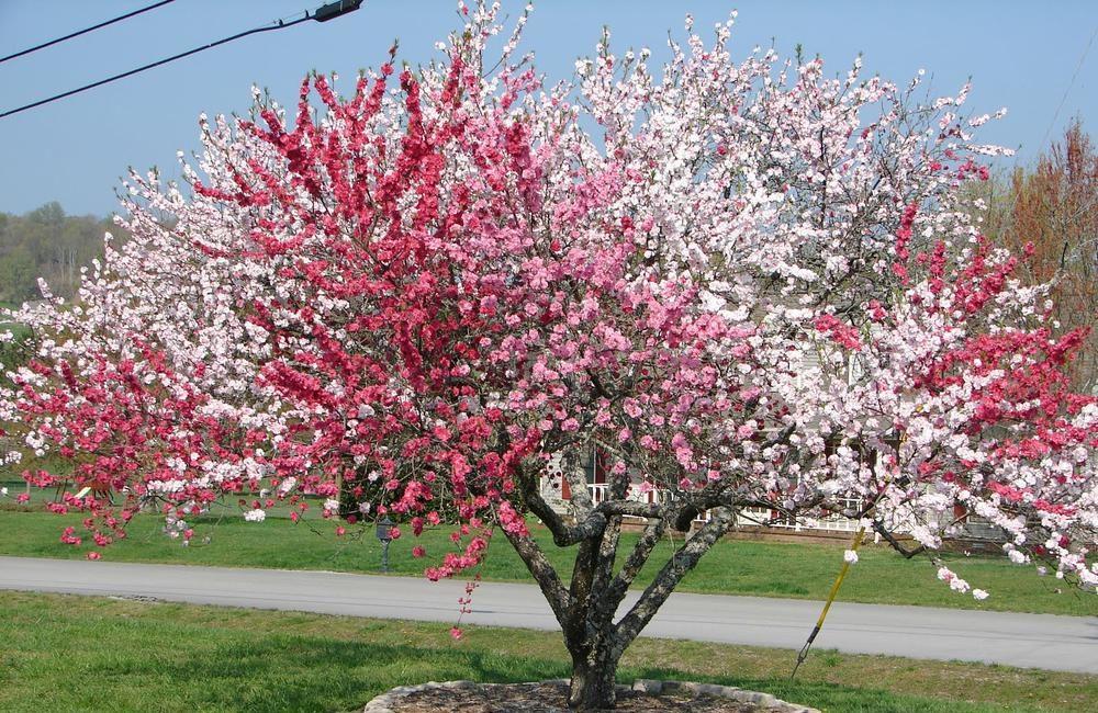фруктовые деревья персики
