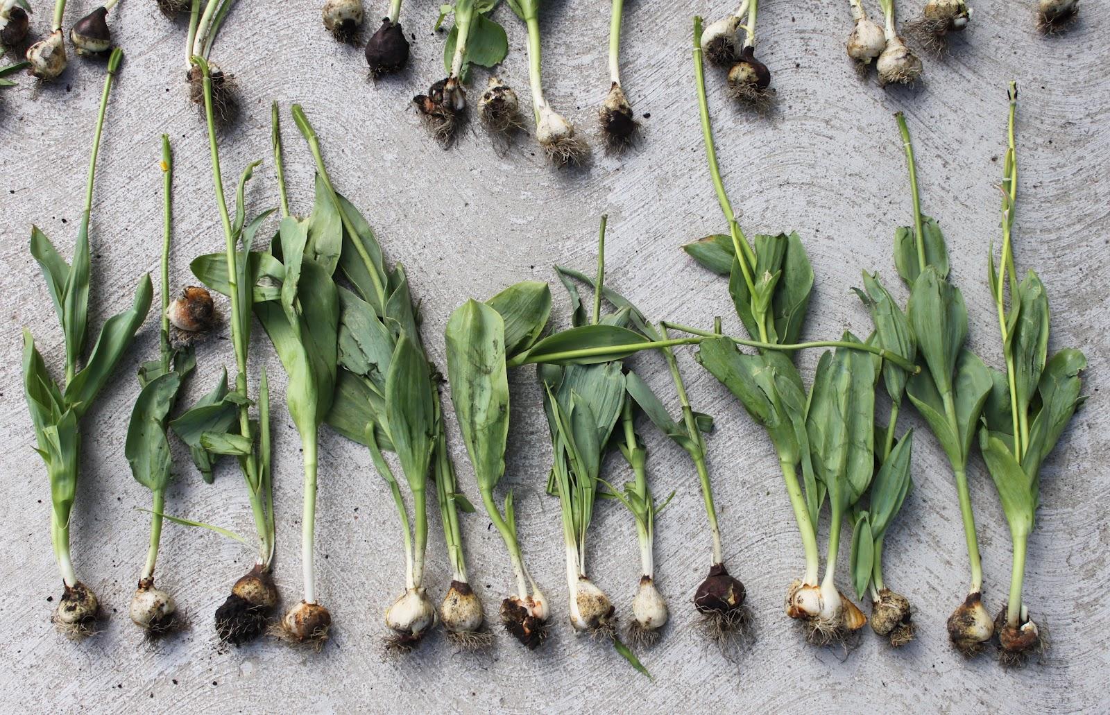 Выкопка луковиц